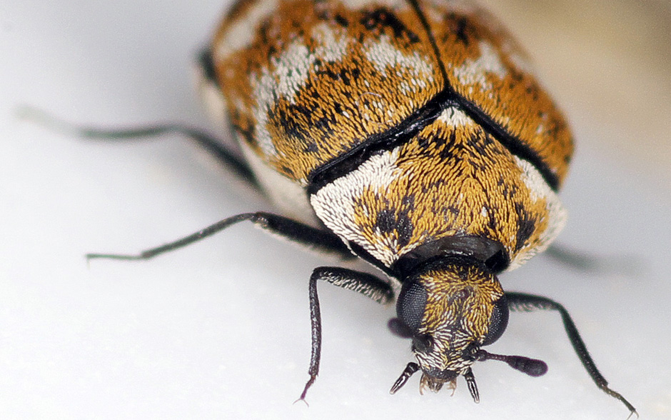 Causes And How To Get Rid Of Carpet Beetles Pittsburgh